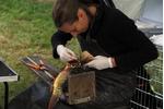 Odebírání vzorků pro analýzu stáří ryb Odebírání vzorků pro analýzu stáří ryb