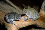 Figure 3. Gray tree frog  Figure 3. Gray tree frog (Hyla versicolor; right) and Cope's gray tree frog (H. chrysoscelis; left), two chytrid hosts indistinguishable based on external morphology.