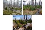 Obnovující se Šumava Obnova probíhá (byť pomaleji) i ve vrcholových partiích - zde Plechý, koláž (foto: J. Kopáček)