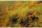 Obr. 1: Dno mělkých příbřežních oblastí Prášilského jezera pokrývají tmavě zelené porosty větvených řas. Dno mělkých příbřežních oblastí Prášilského jezera pokrývají tmavě zelené porosty větvených řas.