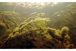 Obr. 3: Slizové kolonie nálevníka druhu Ophrydium versatile (lahvenka velká). Slizové kolonie nálevníka druhu Ophrydium versatile (lahvenka velká).